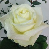 3 Single White Avalanche Roses