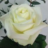 Half Dozen White Avalanche Roses