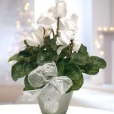 White Christmas Cyclamen Plant