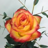 Single High Magic Rose in Black Vase