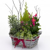 Christmas Cactus with Ivy