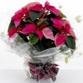 Gift Wrapped Pink Poinsettia Large